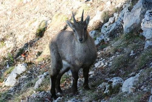 Stone Geiss Capricorn Ruminant Alpine Ibex