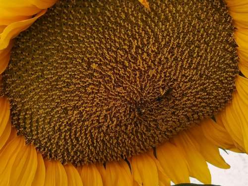 Sunflower Flower Yellow Summer Flowers Seeds