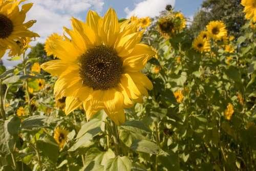Sunflower Flowers The Petals Flower Yellow Summer