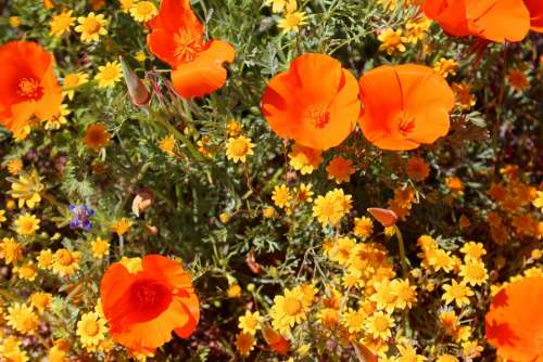 Superbloom Poppies California Southwest Desert