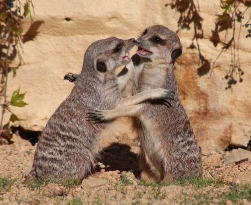 Suricate Meerkat Animal Cute Africa Nature Fight