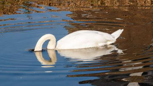Swan Water Swim Lake Water Bird White Waters
