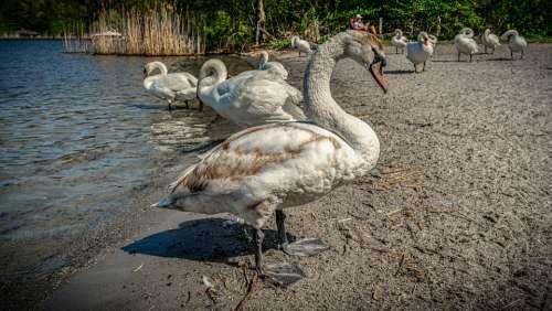 Swan Water Beach Animal Bird Nature Lake