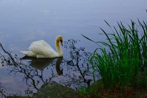Swan Park Lake Sunset Evening Thuringia Germany