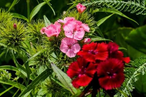 Sweet William Garden Nature Plant Dianthus Pink
