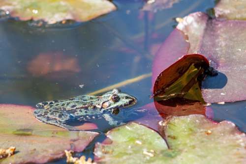 The Frog Pond Water Animal Green Amphibian Nature