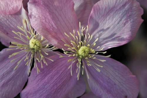 The Smell Of Clematis Pink Garden Two Love Plant