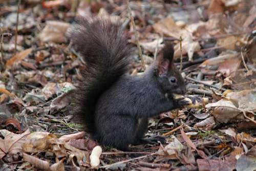 The Squirrel Black Rodent Standing Tail Food
