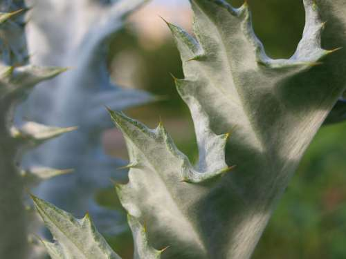 Thistle Spur Nature Flower Plant Prickly Close Up