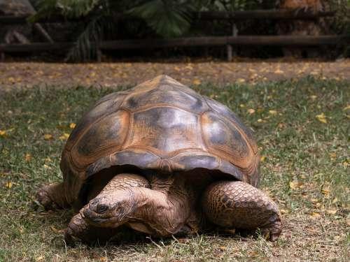 Tortoise Large Slow Animal Wildlife Nature Shell