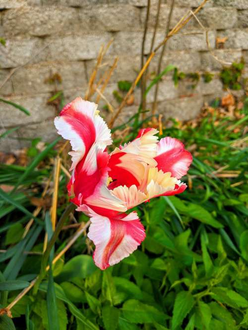 Tulip Flower Spring Passover Nature Garden Pink