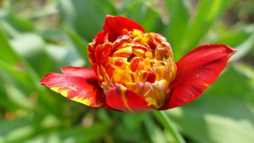 Tulip Flower Spring May Garden Plant Netherlands