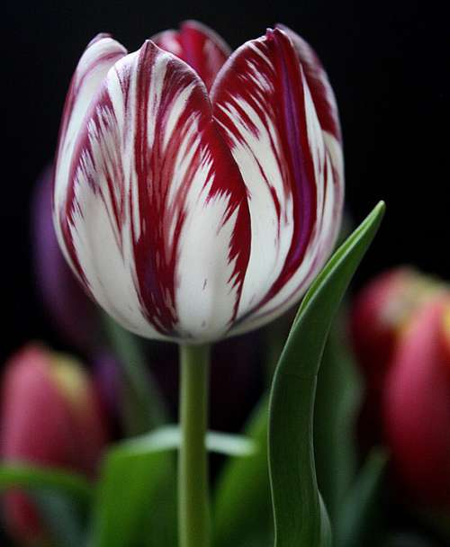 Tulip Flower Red Striped Beautiful Spring Floral