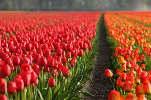 Tulips Field Orange Red Background Wallpaper