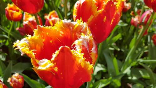 Tulips Flowers Field Of Flowers Frayed Close Up