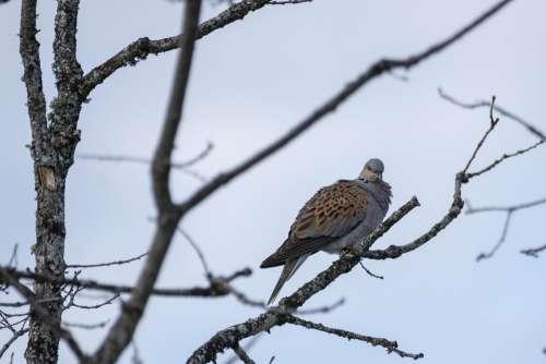 Turtle Dove Bird Nature Pigeons Animals Spring