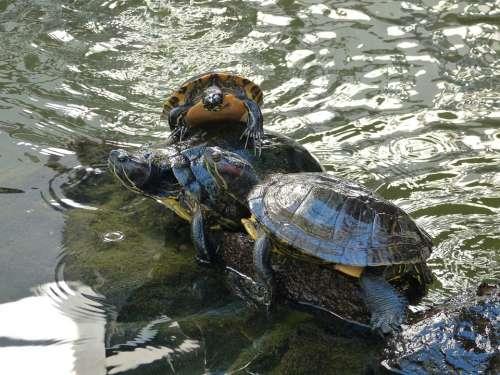 Turtles Water Animal Nature Pond Creature Log