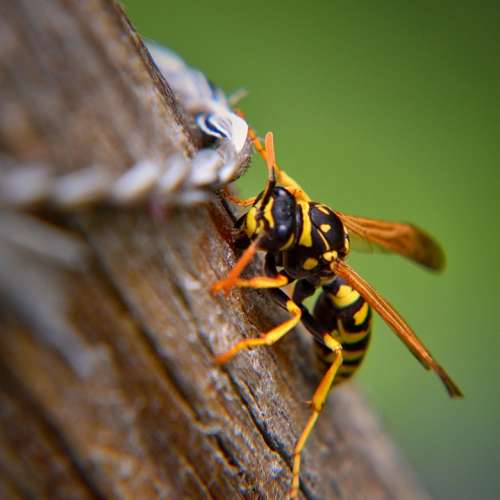 Wasp Insect Nature Wood Close Up Animal Spring