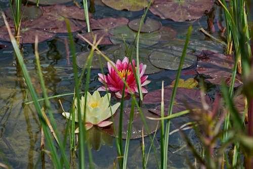 Water Lily Flower Pond Flowering Aquatic Flora