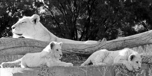 White Lion Lion Lion Babies Mother Lion