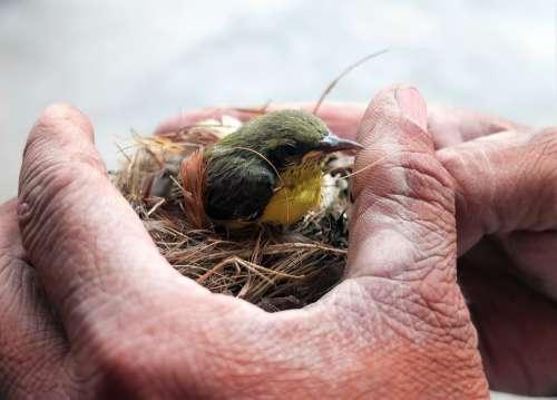 Wild Wildlife Bird Juvenile Baby Animal Nest