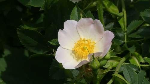 Wild Rose Hedge Blossom Bloom Rose Hip