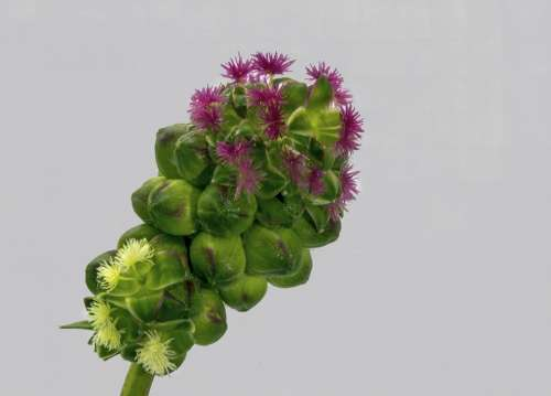 Wildflower Salad-Burnet Plant Herb Edible Green
