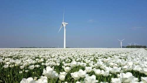 Wind Mill Tulips Bulbs Tulip Spring Bulb Holland