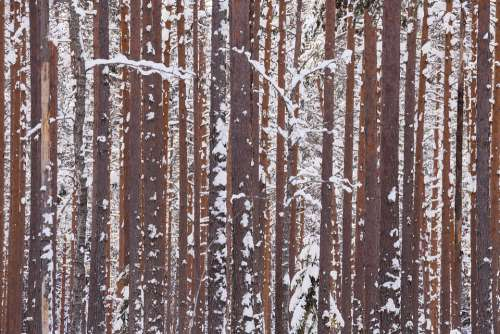 Winter Forest Wood Branches Snow Pines Trunks