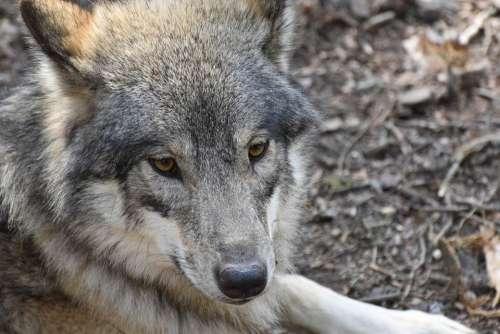 Wolf Wolves Predator Nature Wildlife Animal