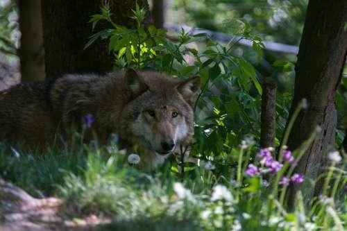 Wolf Flower Forest Nature Summer Plant Petals