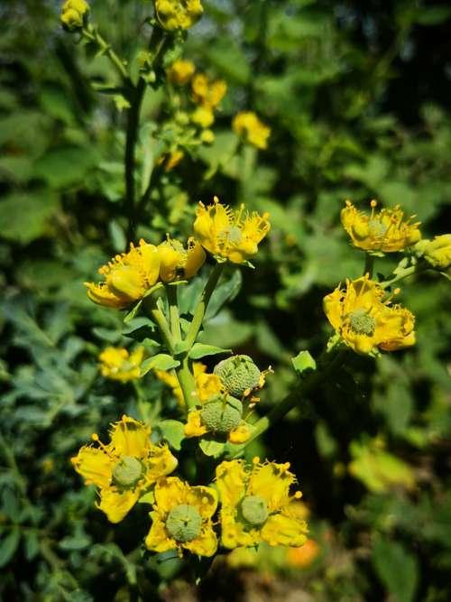 Yellow Flower Ruda Shrub Medicinal Plant