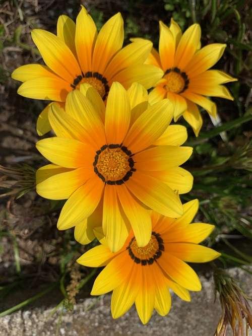 Yellow Flowers Roadside Flowers Floret Flower