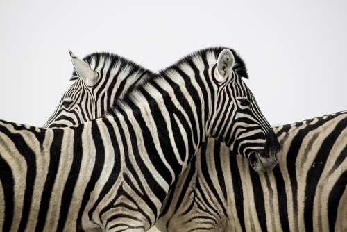 Zebra Stripes Couple Love Animal Africa Safari