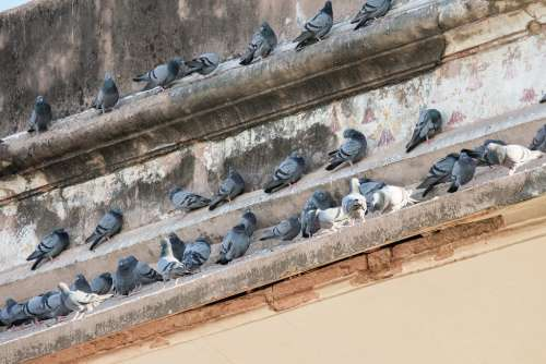 Lots of Pigeons Sitting on the Top of a Building