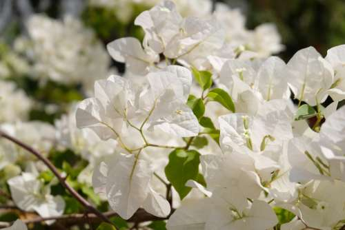 Blooming Bougainvillea Flowers