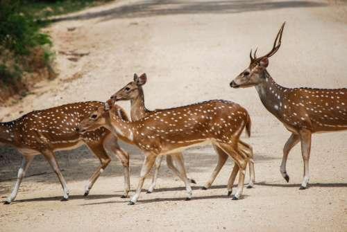 Deers herd