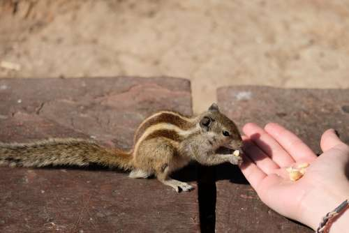 Chipmunk Eating from Tourist Hand