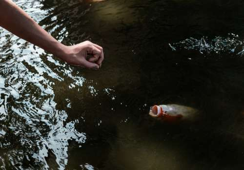 Arm Reaching Towards The Open Mouth Of A Koi Fish In A Pond Photo
