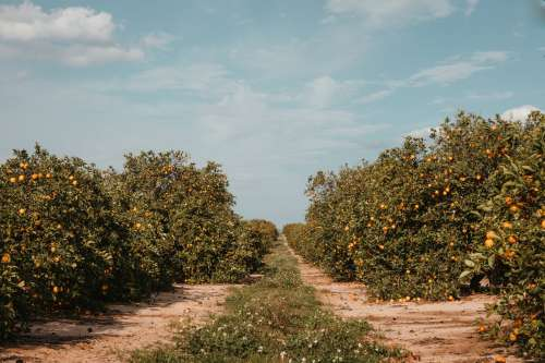 Beaten Dirt Road Between Rows Of Orange Trees In Orchard Photo