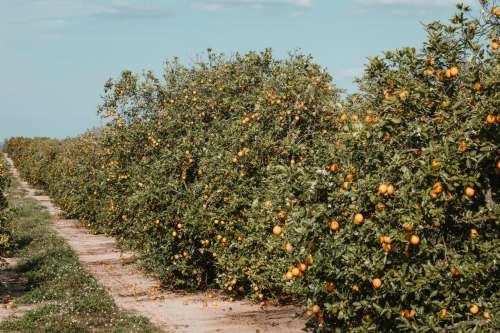 Dirt Path Reaches Along Line Of Florida Orange Orchard Trees Photo