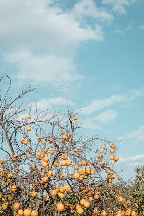 Dry Leafless Tree Branches Heavy With Fruit Reach Skyward Photo