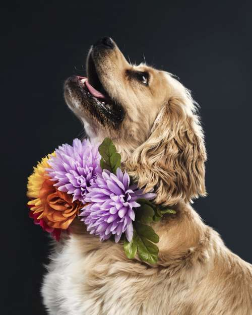 Golden Spaniel Dog Portrait Photo