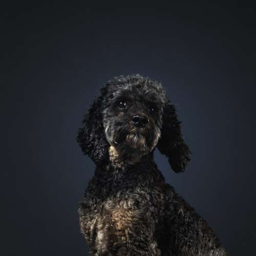 Grey Poodle Dog Tilting Head Photo
