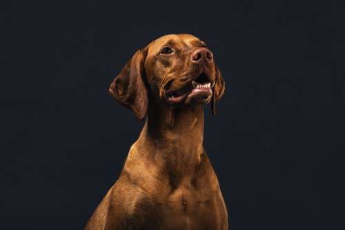 Hungarian Hound Dog Photo