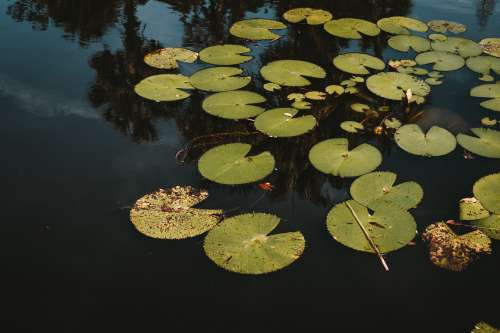 Lily Pads Floating On Top Of Florida Park Pond Photo