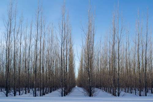 Lines Of Trees In Snow Photo