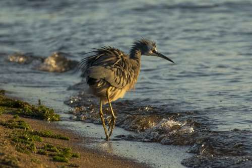 New Zealand Shorebird Tip Toes Through The Surf Photo