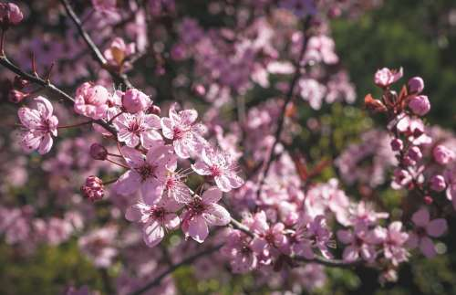Pink Blossoms On Branch Photo