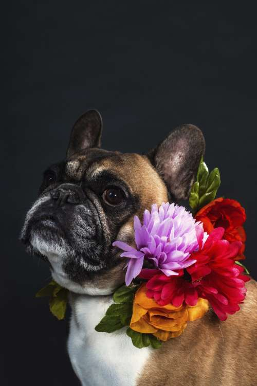 Serious French Bulldog Photo